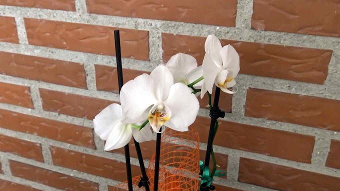 Phalaenopsis Var. (Orquídea Durango)