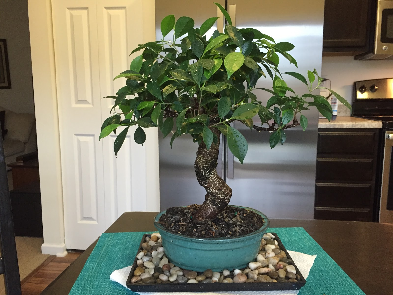 Golden Gate Ficus Trim And Shower Backyard Neophyte Landscaping Blog