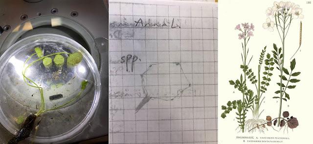 3 kuvaa. Luhtalitukka petrimaljalla, lyijykynähahmotelma lehdestä ja kasvikirjan kuva.