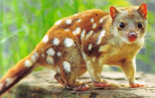Bronze Quoll, Papua Endemic Species Indonesia