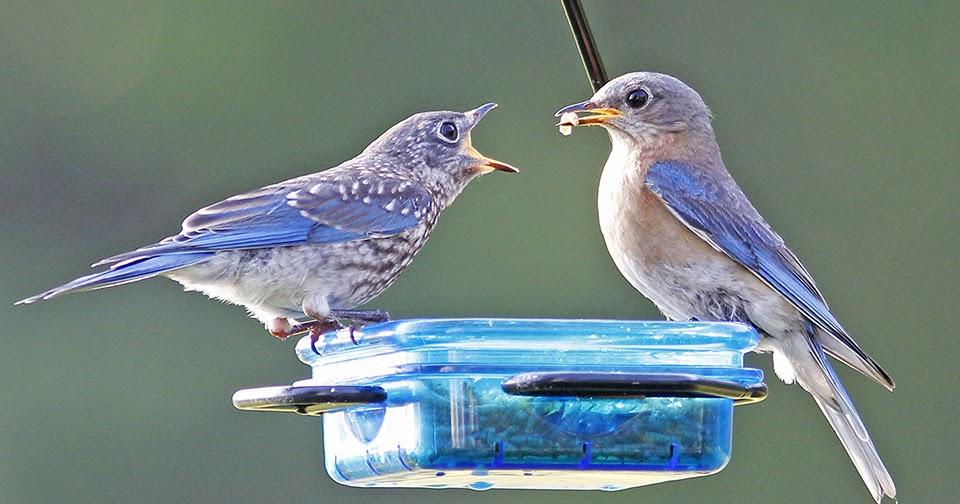 Stokes Birding Blog Eastern Bluebird Mama And Baby
