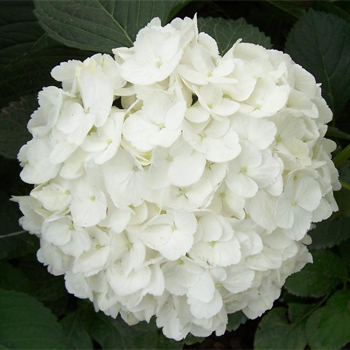 Beautiful White Hydrangea For Wedding Flower