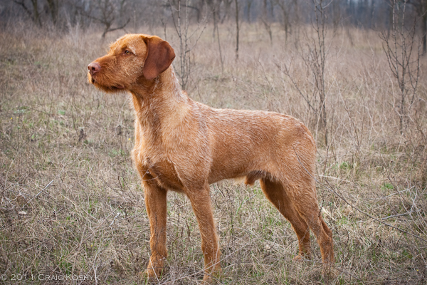 Pointing Dog Blog Breed Of The Week Hungarian Wirehaired Vizsla