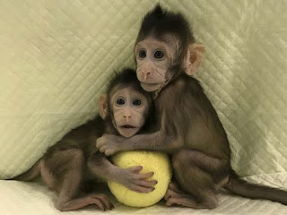 Spotlight : Chinese Scientists Clone Two Monkeys.