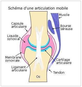 articulation schéma diarthrose infirmier arthrologie