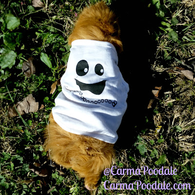 Guinea Pig in Halloween Shirt