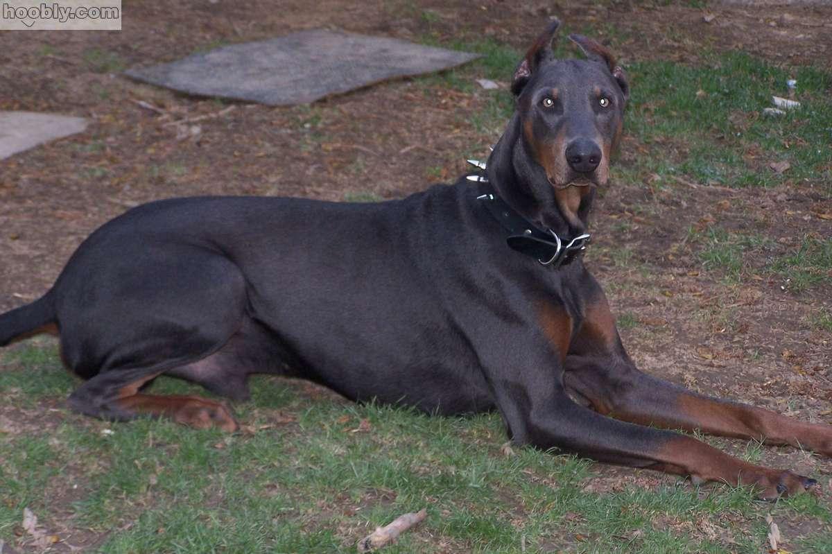 Professional Dogs Doberman Pinscher