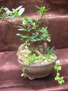 ficus plant bonsai