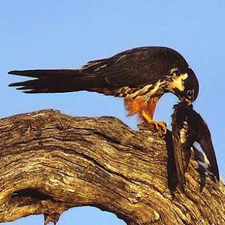 falconidae Alcotan europeo Falco subbuteo