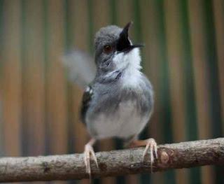 Mengenal Dan Ciri Ciri Fisik Burung Ciblek Kristal Paling Akurat