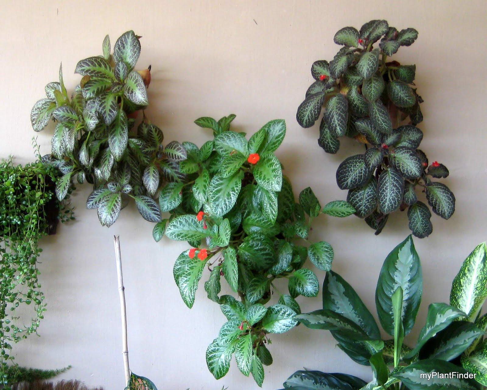 My Plant Finder Plant Guide Episcia Cupreata