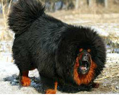 what is the price of tibetan mastiff dog