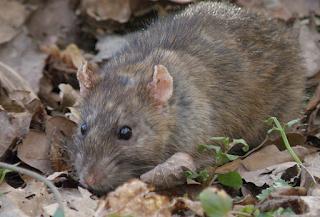 hewan terpintar dan tercerdas di dunia - tikus