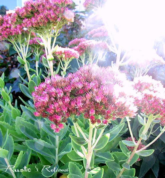 Sedum for Fall color