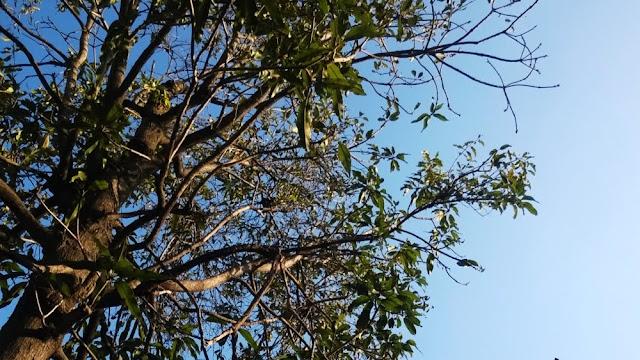 Mango tree and parasitic