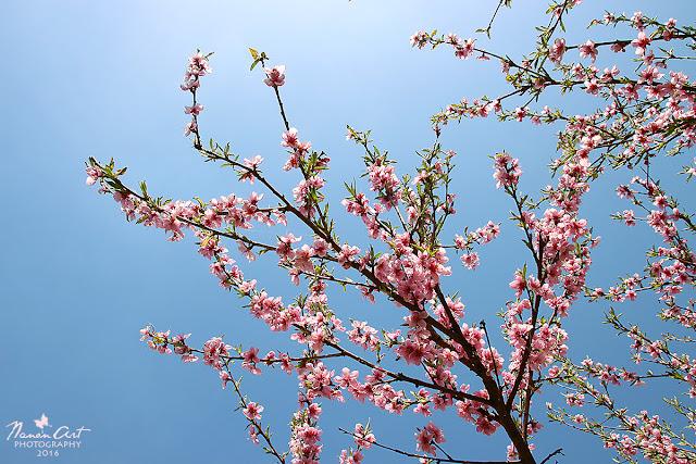 Virágzik a barackfa