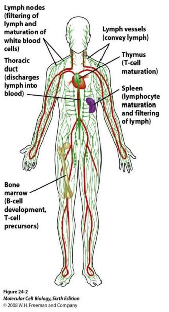 Quelles sont les différents organes du Système Immunitaire ?