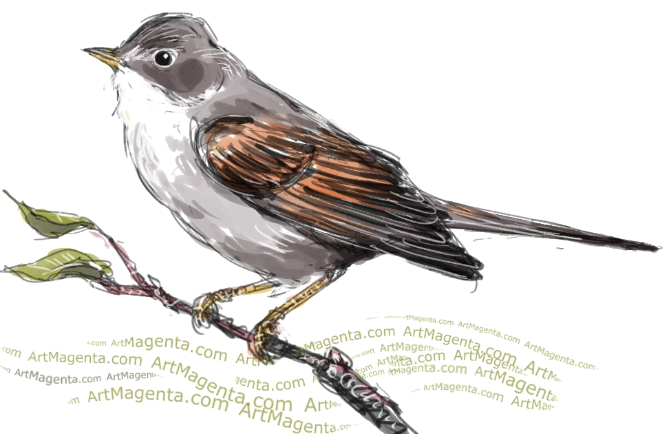 Common Whitethroat sketch painting. Bird art drawing by illustrator Artmagenta