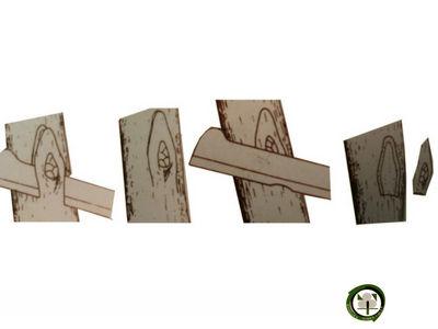 Recoger las Yemas para los Injertos de Ojo se deben extraer de la parte central de las ramas