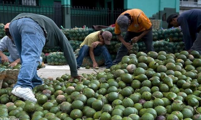 México podría importar aguacate debido a los altos precios