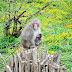 Affenberg Landskron - małpie wzgórze