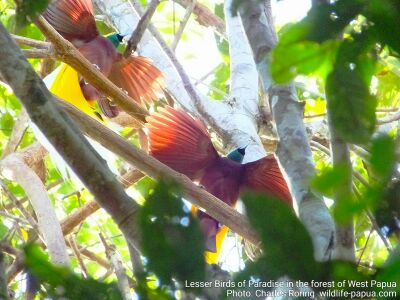 Lesser Birds of Paradise (Paradisaea minor) in West Papua's rainforest