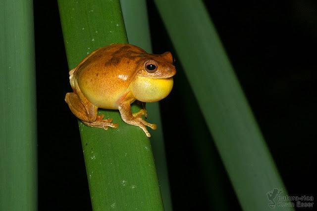 Tlalocohyla loquax - Mahogany Treefrog calling