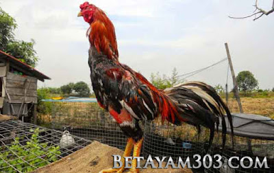 3 Jenis Ayam Aduan Yang Paling Populer dan Paling Dicari