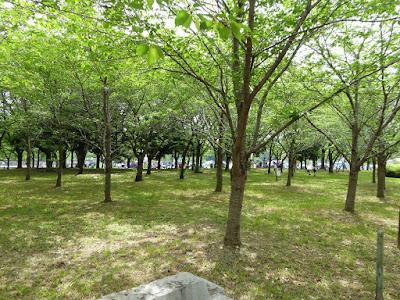 深北緑地 桜の園