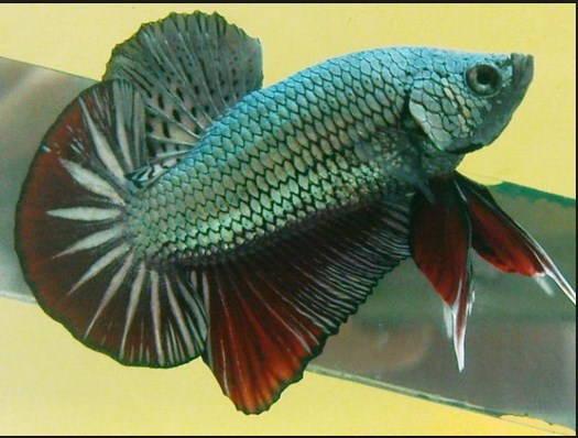 Melatih Ikan Cupang Adu Agar Kuat