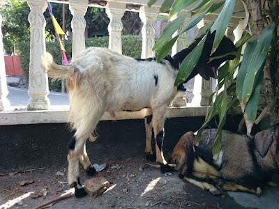Pemotongan hewan kurban se surakarta berpengalaman