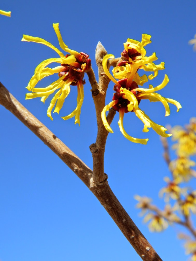 Hamamelis x intermedia Primavera witch hazel Toronto Botanical Garden by garden muses-not another Toronto gardening blog