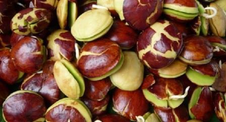 Obat Tradisional Untuk Keracunan Jengkol & Udang