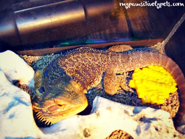 Bearded Dragons make awesome pets