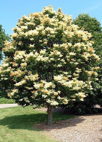 U0027Ivory Silku0027 Japanese Tree Lilac   A Tree For All Seasons