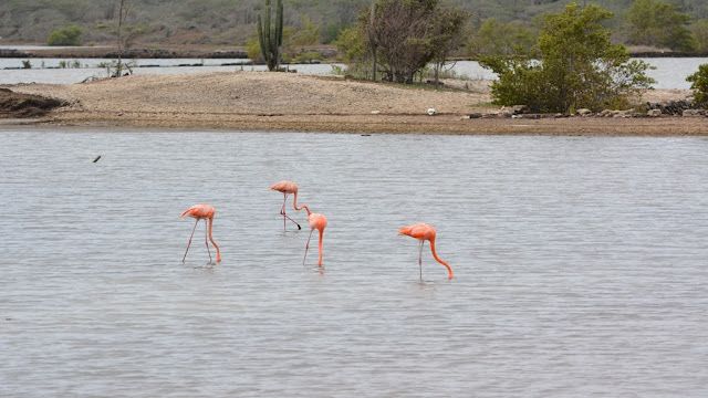 Jan Kok Flamingo Curacao