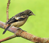 Jenis Burung Decu Saxicola Caprata Pyrrhonotus,