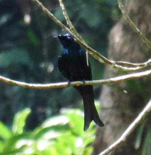 Indian birds - Picture of Fork-tailed drongo-cuckoo - Surniculus dicruroides