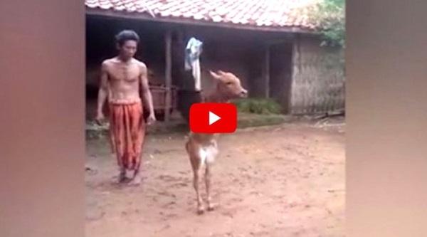 Ramai Menitis Air Mata Melihat Video Anak Lembu Ini. SUBHANALLAH.