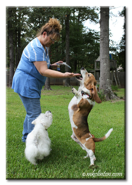 Woman in blue shirt with Basset Hound standing up to taste the Evanger's Lung Treats. with Westie looking on