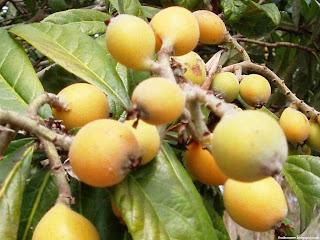 American mayapple fruit images wallpaper