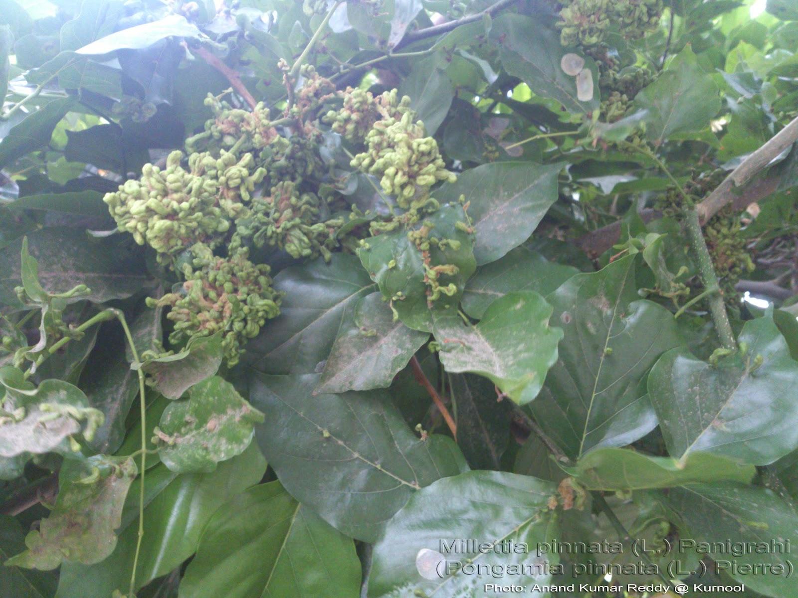 Medicinal Plants: Millettia pinnata