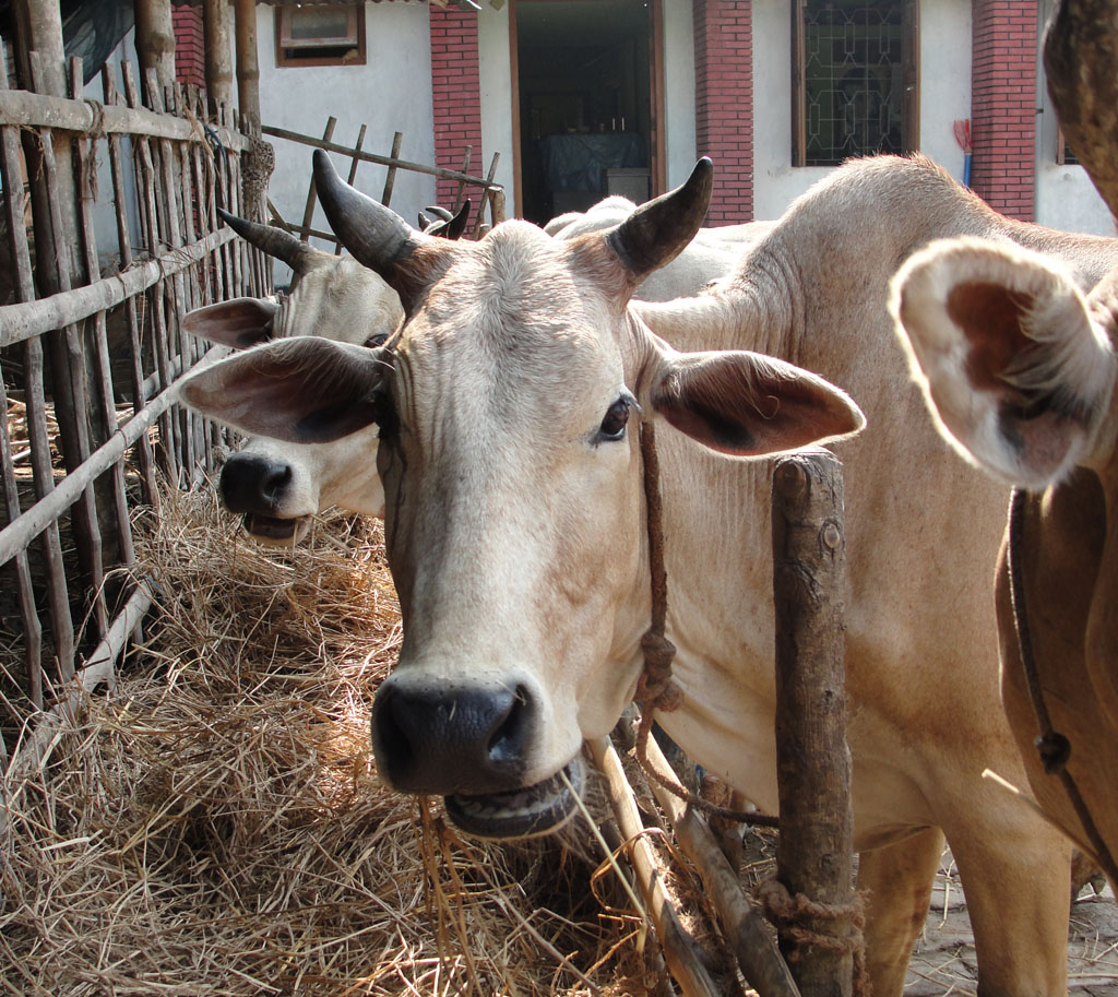 cattle, cattle feed, feed of cattle, what to feed cattle