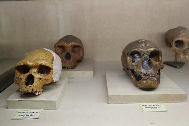 Fosil Tengkorak Museum Geologi