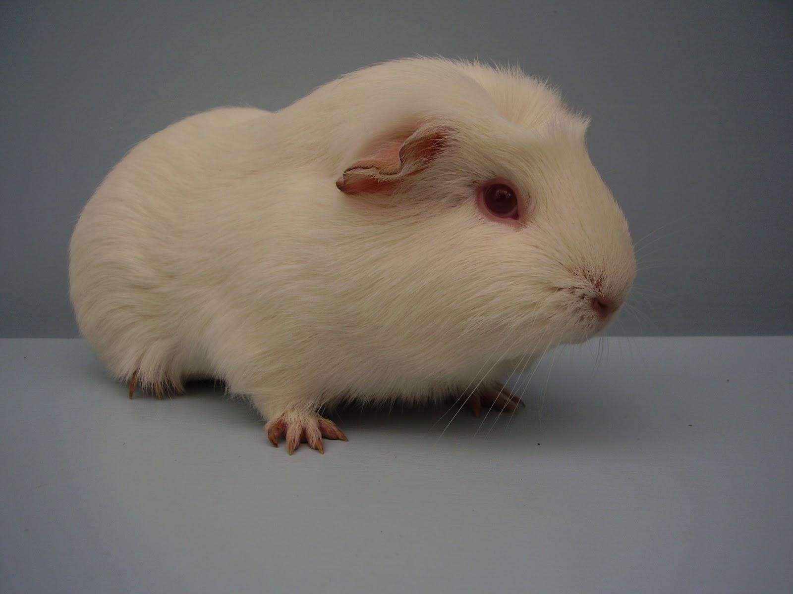 4 Live Guinea Pig Web Cams & Blog