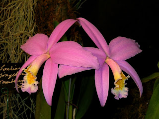 Laelia jongheana 'Turnberry' AM/AOS