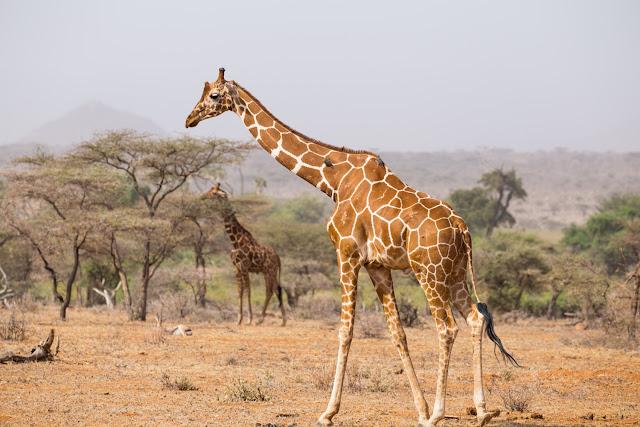 Jirafas reticuladas en Samburu
