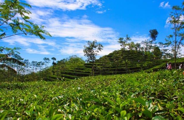 Lokasi kebun teh nglinggo