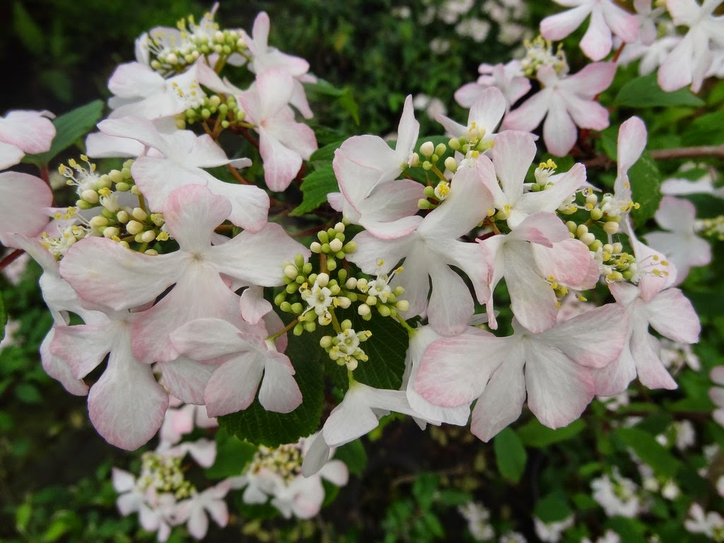 Flora wonder blog viburnum when you can mulch them viburnum plicatum f tomentosum pink beauty mightylinksfo