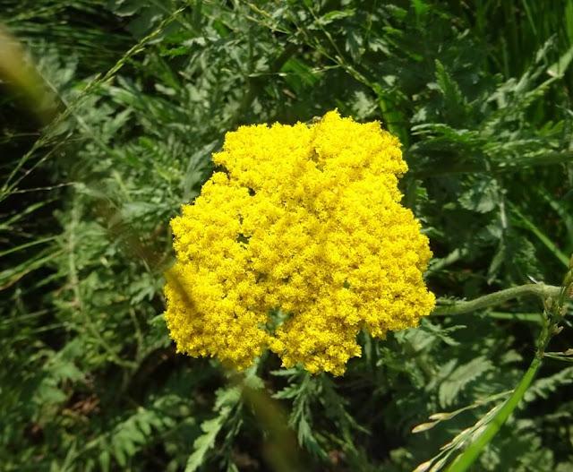 Achillea Filipendulina Coronation Gold Yarrow